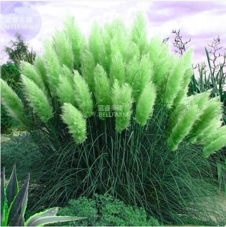 New Impressive Coloful Pampas Grass Seeds - 100+ seeds - Cortaderia Selloana Mix T5 by DGG