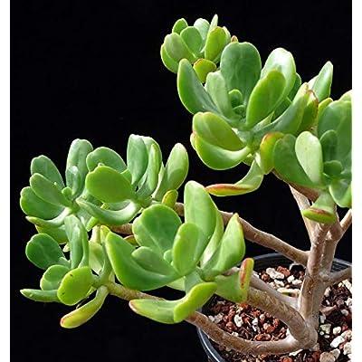 Sedum praealtum Small Cutting Succulent Plant : Garden & Outdoor