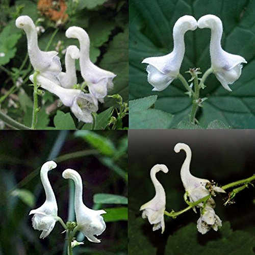 Rose Iris Tectorum Sunflower Cobaea Scandens Seed, 100 Pcs Rare Swan Flowers Seeds White Flowers Decor Home Garden Planting