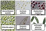 (US) Algae Research and Supply: Algae Culture: Six Algae Strains- For classroom investigations