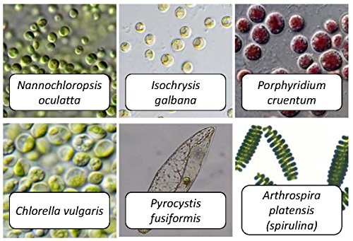 Algae Research and Supply: Algae Culture: Six Algae Strains- For classroom investigations