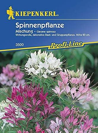 Spinnenblume Mischung 100 Samen Cleome hassleriana Blume