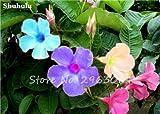 50 Pcs/bag Rare Dipladenia Sanderi Seeds Perennial Climbing Mandevilla Sanderi Flower Outdoor Ornamental Bonsai Garden Plant 23