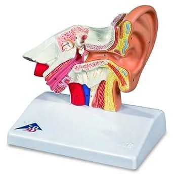 3B Scientific  E12 Modelo de anatomía humana Modelo del Oído Para el Escritorio, 1,5 Veces Su Tamaño Natu