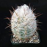 Oreocereus Trollii Old Man of The Mountain Cactus Cacti Nice Real Live Plant