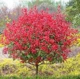 Home Garden Plant Photinia Fraseri Frasery Serrulata Red Robin Tipluohu Flower Seeds 50 Seeds