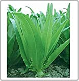 "25 Seeds Indian Leaf Lettuce- ""You Mai Cai"" a Very Unique Flavor! Vigorous Upright Plant!"