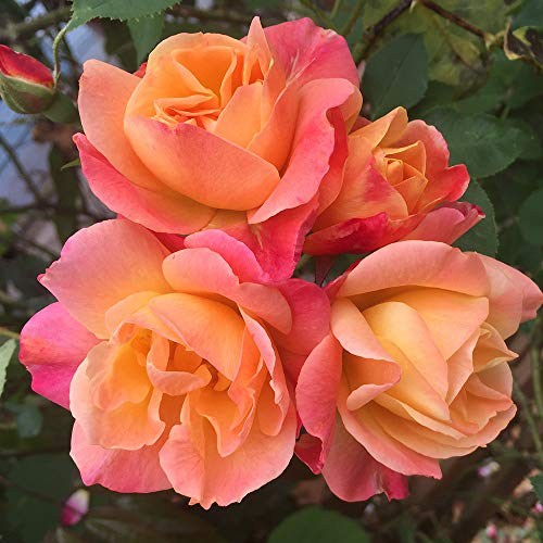 Own-Root One Gallon Joseph's Coat Climbing Rose by Heirloom Roses by Heirloom Roses (Image #2)
