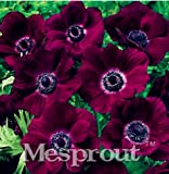 New 12 Different Colors Japanese Anemone Flower 50+ Seeds - 4