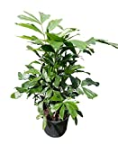 PlantVine Caryota mitis, Fishtail Palm - Large - 8-10 Inch Pot (3 Gallon), Live Plant - 4 Pack