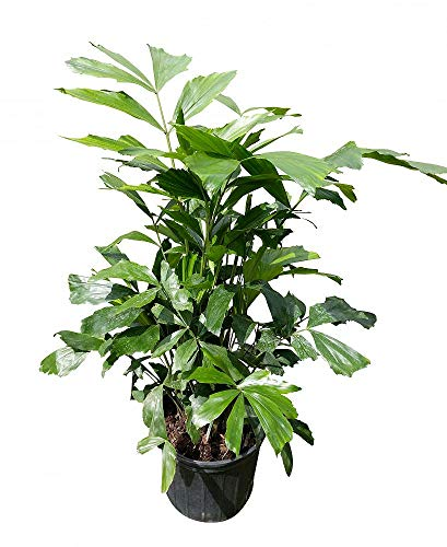 PlantVine Caryota mitis, Fishtail Palm - Large - 8-10 Inch Pot (3 Gallon), Live Plant - 4 Pack by PlantVine (Image #6)