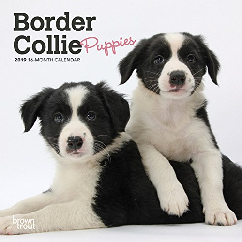 Border Collie Puppies 2019 7 x 7 Inch Monthly Mini Wall Calendar, Animals Dog Breeds Collie Puppies (Multilingual Edition) ()