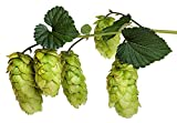 Tahoma Beer Hops Vine - Humulus - Grow Your own