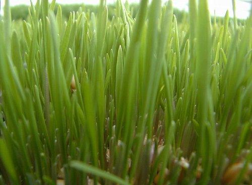 10lb Kansas Wheat, Wheat Seed, Cat Grass, Wheat Grass by Thunder Acres