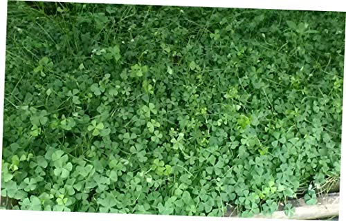 REZA Tall Water Clover (Marsilea quadrifolia) BIOFILTERS Plants Licensed PA Grower - EB165