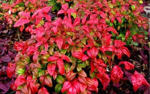 Nandina, Firepower, plants, reddish fall color, evergreen