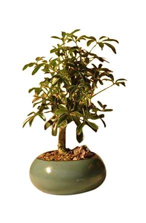 Amazon Com Bonsaiboy Hawaiian Umbrella Bonsai Tree Small Arboricola Schefflera Luseanne Grocery Gourmet Food