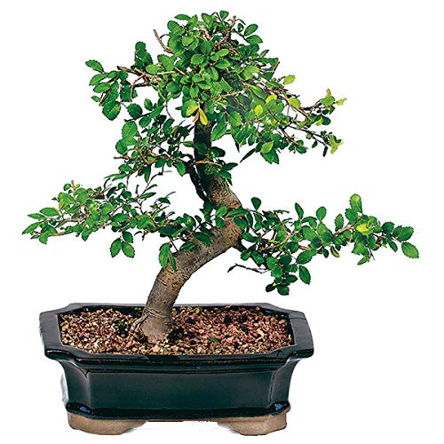 Bonsai Chinese Tree Elm (Chinese Elm Bonsai Tree Live Plant Nature Pot Indoor Outdoor Home Best Gift - USA_Mall)