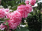 ALCEA rosea 'Chater's Pink.(2 Hollyhock Plant - (Pink - Double) Great cut flower, Attracts butterflies,hummingbirds PLANT/ROOT