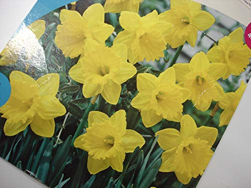 Casavidas Seeds: 10 Daffodil King Alfred Blooms Mid12/14 cm Plant Flowers Grow #1 ()