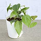 Ugaoo Philodendron Oxycardium green Plant With Pot