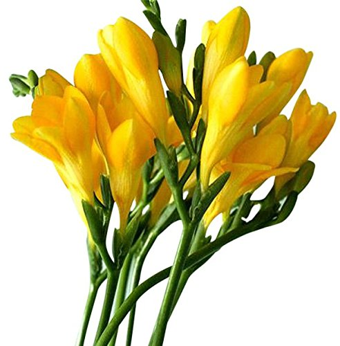 12 Single Yellow Freesia Bulbs - Top Size from Marde Ross & Company