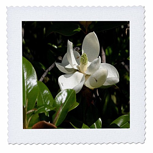 3dRose TDSwhite - Summer Seasonal Nature Photos - Flowers Pretty Magnolia Bloom - 10x10 inch Quilt Square - Magnolia 10