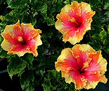 M Tech Gardens Rareblue Giant Hibiscus Ornamental Seeds For