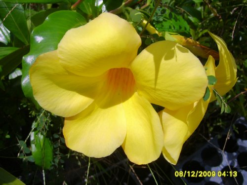 BROWN BUD Allamanda Hendersonii Vine Live Plant Tropical Bright Yellow Bell Shaped Flower Starter Size 4 Inch Pot Emeralds (Bell Shaped Flowers)