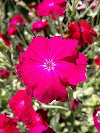 Amazon rose campion sun perennial pink flower garden outdoor rose campion sun perennial pink flower mightylinksfo