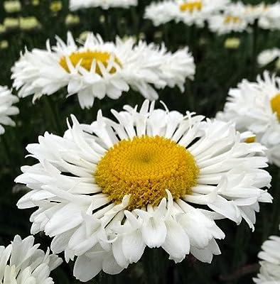 Real Neat Shasta Daisy - Leucanthemum - Live Plant - Quart Pot