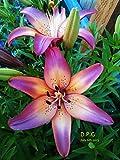 5 bulbs LILY~ROYAL SUNSET~FLOWER BULBS 48'' TALL HARDY PERENNIAL PLANTS HUMMINGBIRDS LIKE