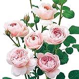 David Austin English Roses Queen of Sweden