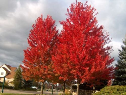 - Red Maple, Acer Rubrum, Tree 30 Seeds (Northern Source, Fall Colors!)
