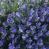 Viper's Bugloss- (Echium Plantagineum) Blue - 50 seeds