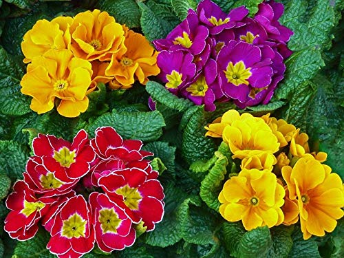 Primrose Flowers Bright Colorful Fresh Herbs