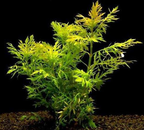 Indischer Wasserstern - Wasserwedel / Hygrophila difformis WFW wasserflora