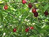 Cornelian Cherry Dogwood Cornus mas Golden Glory - Gallon Potted – 1 Plant