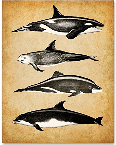 Whales v2-11x14 Unframed Art Print - Great Gift for Biologists or Nature (Killer Whale Art)