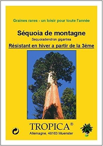 TROPICA - Secuoya gigante (Sequoiadendron gigantea) - 50 semillas ...