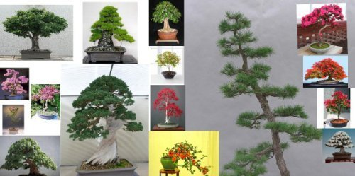 Bonsai Tree Seeds ULTIMATE PACK-Conifers/Deciduous/Flowering -OVER 100 SEEDS!!! grow your secret garden