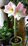 Amaryllis Apple Blossom Huge Bulb 28-36cm! Great Holiday Gift! Easy Grow Bulbs!