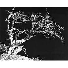 "Bodi Tree by Albert Koetsier - 24"" x 30"" Giclee Canvas Art Print"
