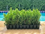 Thuja Emerald Green Arborvitae - 15 Live Plants - 2'' Pot Size - Evergreen Privacy Tree