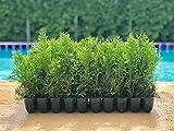 Thuja Emerald Green Arborvitae - 30 Live Plants - 2'' Pot Size - Evergreen Privacy Tree