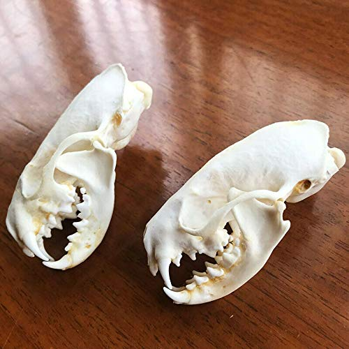 10 Pcs Mink Skull// Real Animal Skull// Real Bone// Decoration//Gift// New//