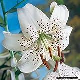 Tiger Lily- White, (3 Bulb/Plant) Unusual Flowered Perennial, Lilium lancifolium
