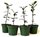 9Greenbox Bay Laurel Herb Pot Set, 4 Inch x 4 Inch, (Pack of 4)
