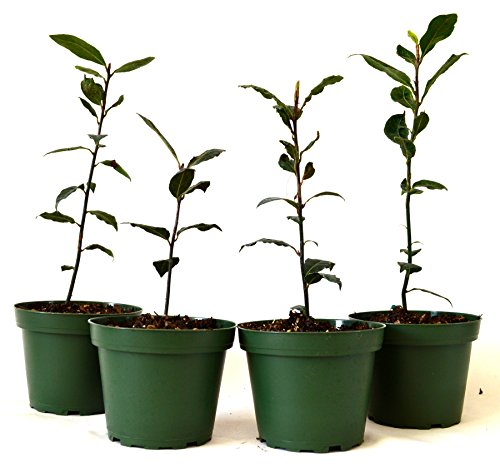 Bay Leaf Tree - 9Greenbox Bay Laurel Herb Pot Set, 4 Inch x 4 Inch, (Pack of 4)