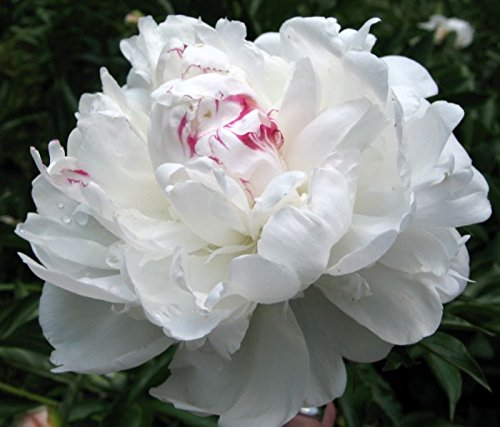 beautifull-30-duchess-white-paeony-aster-french-peony-callistephus-flower-seeds